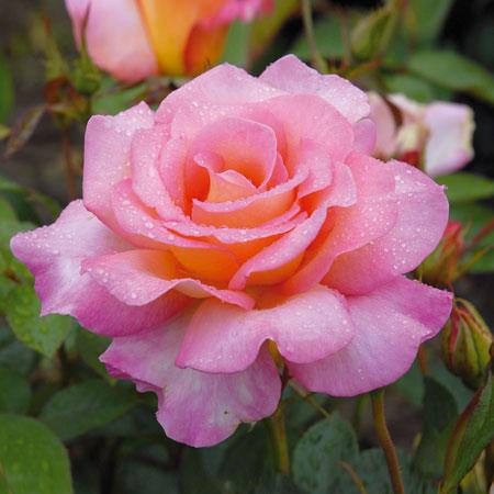 roses anciennes d andr ve les tauzia fete les jardins. Black Bedroom Furniture Sets. Home Design Ideas