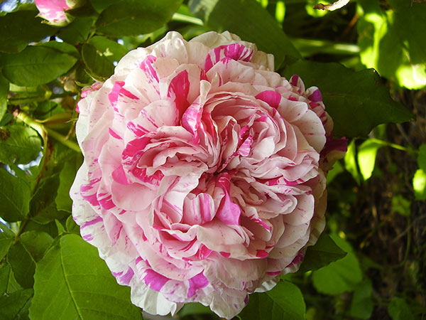 pépinière Jardin De Talos - Rose 09200 Centifolia Variegata