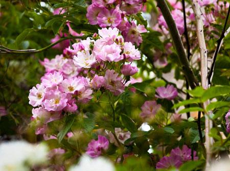 Rose apple blossom, Jardin de Talos