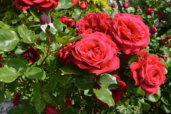 Pépinière Jardin de Talos : Rose 09200 Aimable